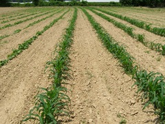 2nd-corn