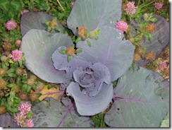 red cabbage and red clover