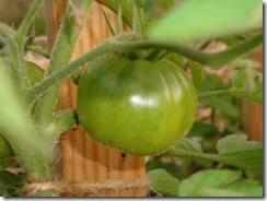 Black Krim baby tomato