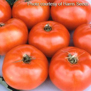 Jetstar Tomato