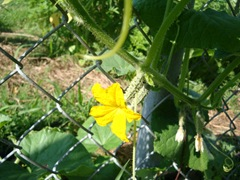 baby cucumbers and flower