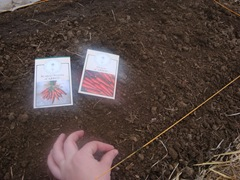 carrot planting