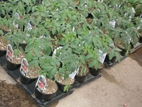cherokee purple tomato 4in