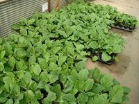 egplants1