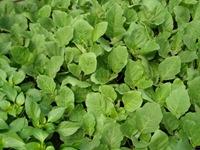 egplants2