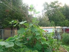 gourd growing up sunflower stalk