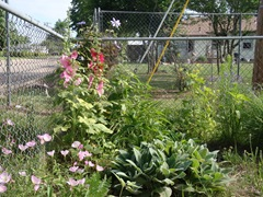 hollyhocks and perennials blooming