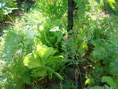 leaf lettuce, carrots and tomatoes