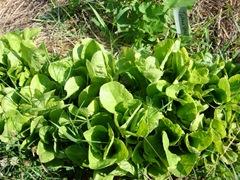 lettuce1 009