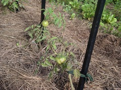 more tomatoes on the vine