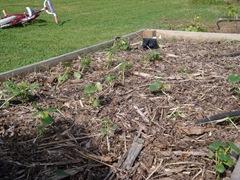 newly planted okra