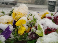 snow covered pansies