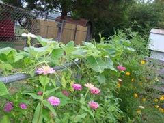 vining gourds and zinnias